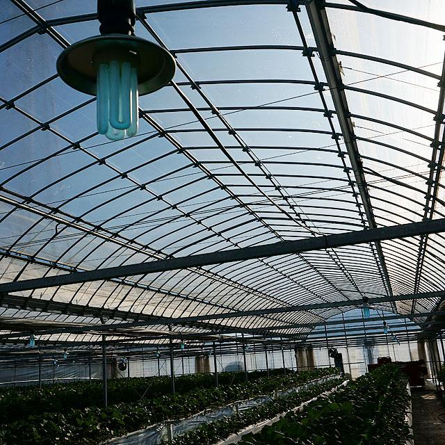 当園では紫外線(UV-B)を用いた病気予防や天敵による防殺虫を導入し極力農薬を使用しない安心安全いちごを育ててます。